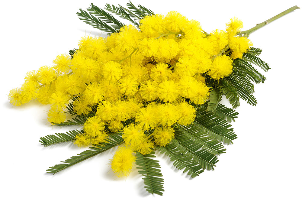Porque la mimosa en Italia, el 8 de marzo?